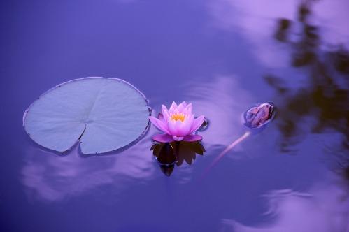 lotus-1205631_1920-1